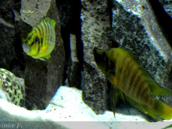 29.062014 Altolamprologus  Weibchen mit Mann  6