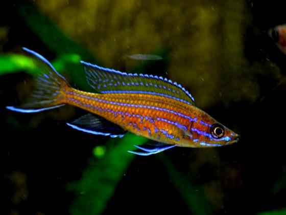 männlicher paracyprichromis n. blue neon 24042014. B  jpg
