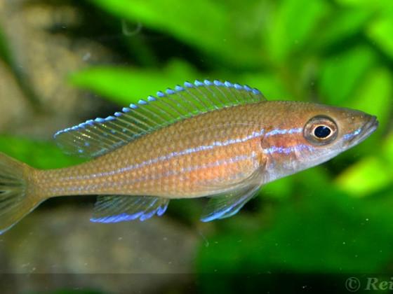 4 weiblicher Paracyprichromis n. blue neon 08062014