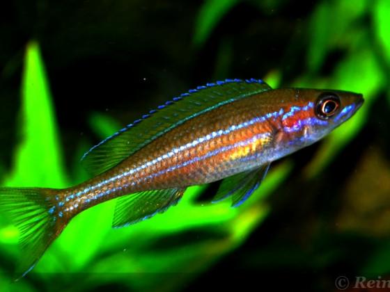 2 weiblicher Paracyprichromis n. blue neon 08062014