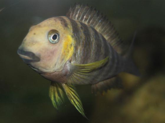 Tropheus brichardi kabimba