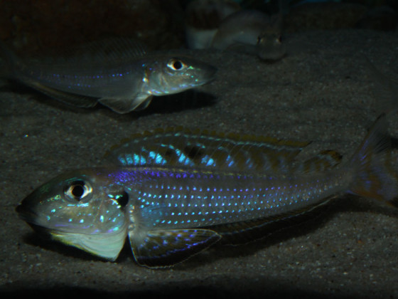 Enantiopus melanogeys utinta