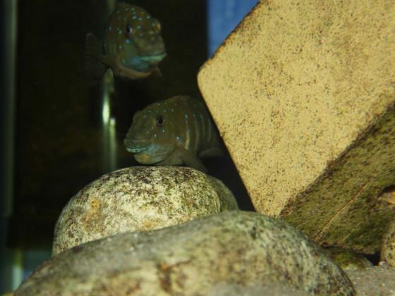 Eretmodus cyanostictus kipili WF
