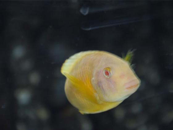 Tropheus Kipili Albino