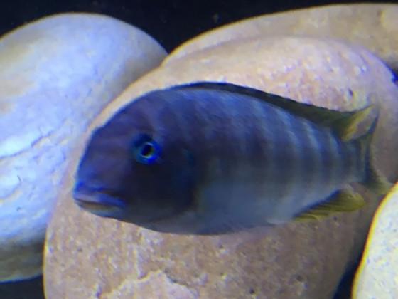 Tropheus Polli Luagala