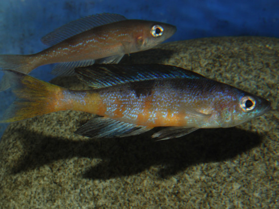 Cyprichromis microlepidotus mboko