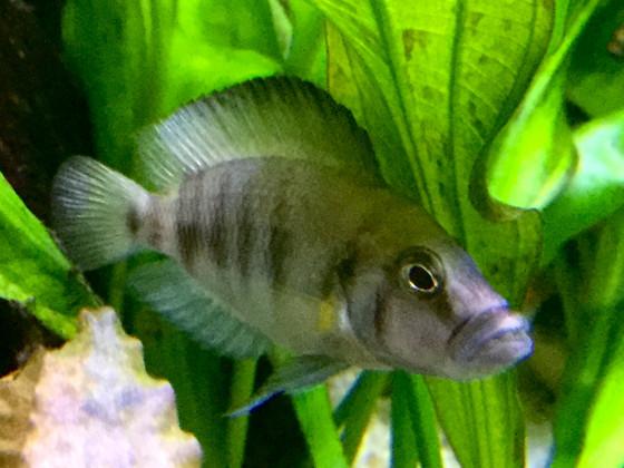 Altolamprologus spec. shell Sumbu