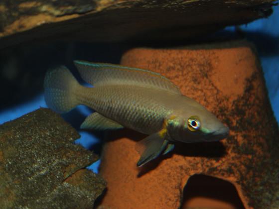 Neolamprologus nigriventris male