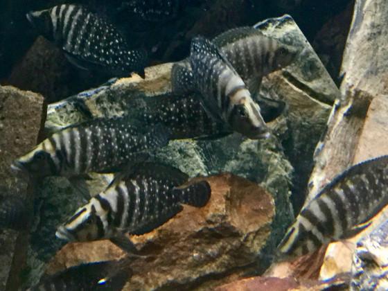 Altolamprologus calvus black 4-6 cm