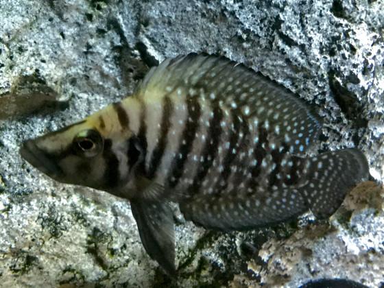 Altolamprologus calvus black ? 5 cm