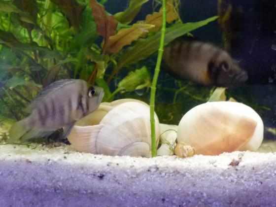 Sumbu Shell evtl bei der Eiablage ?