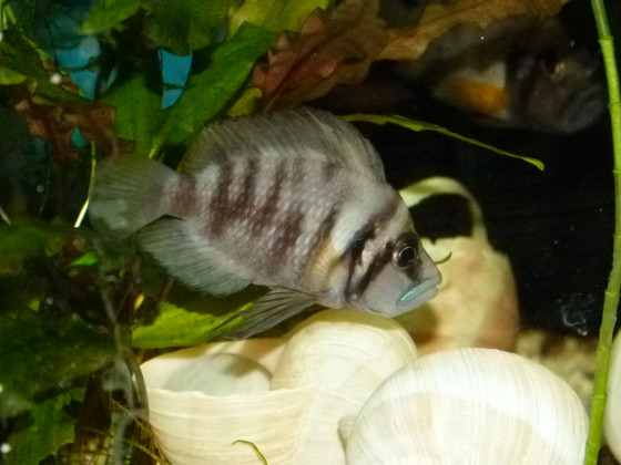 Sumbu Shell Weibchen
