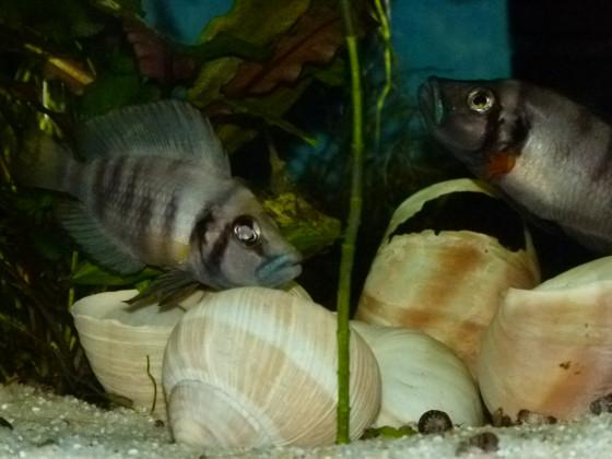 Sumbu Shell drei gegen eine