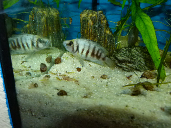 Mutti mit jungfischen