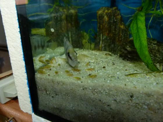 Sumbu shell mit Nachwuchs