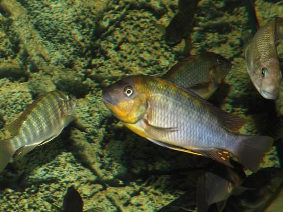 "Petrochromis polyodon ""chinga"""