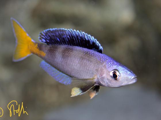 Cyprichromis Leptosoma blue flash Isanga