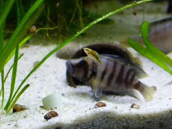 Sumbu shell Nachwuchs
