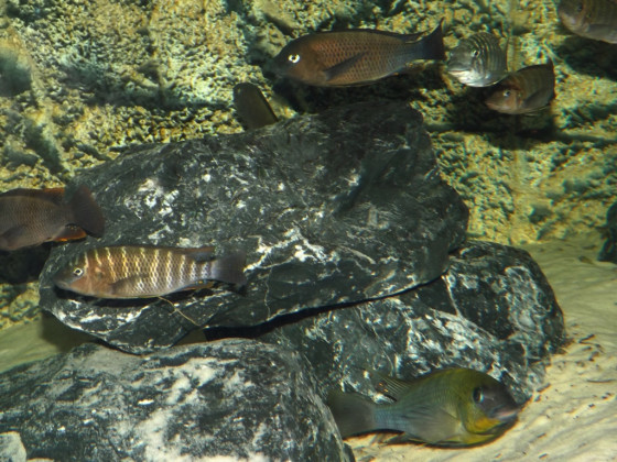 Petrochromis polyodon und famula