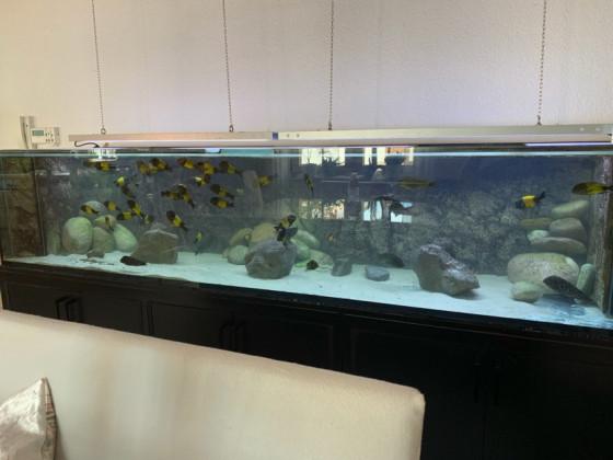 WF Tropheus Ikola u WF Petrochromis Trewavasae
