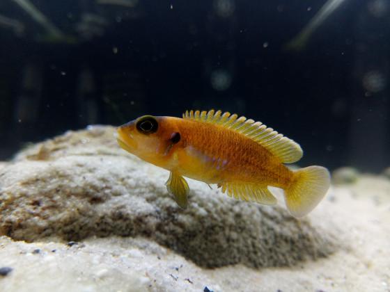 Lamprologus Occelatus Gold
