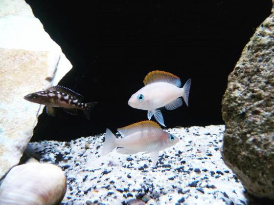 Neolamprologus Buescheri Kamakonde / Neolamprologus Caudopunctatus
