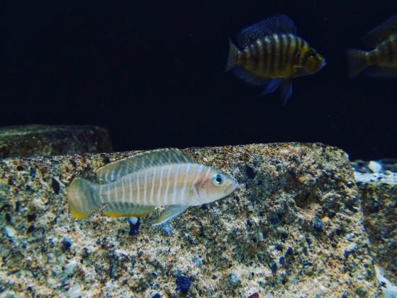 Neolamprologus Similis WF