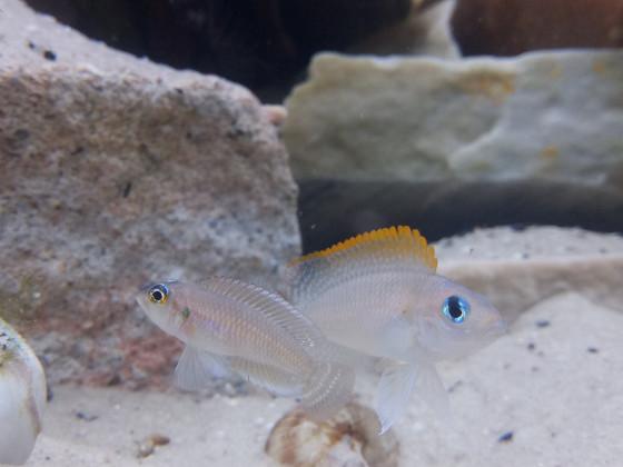 Neolamprologus Caudopunctatus / Lamprologus Occelatus Isanga WFNZ