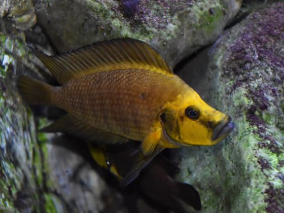 altolamprologus compressiceps gold head kantalamba