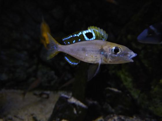 Ectodus Descampsi