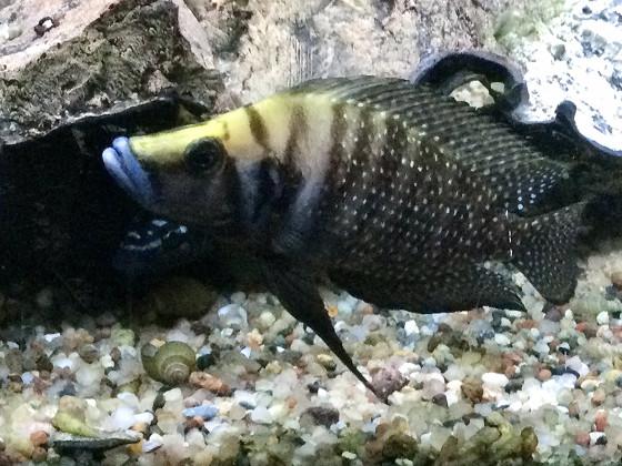 Altolamprologus calvus black, Weibchen