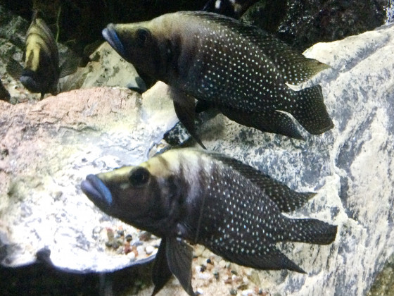 Altolamprologus calvus black, 2 Weibchen