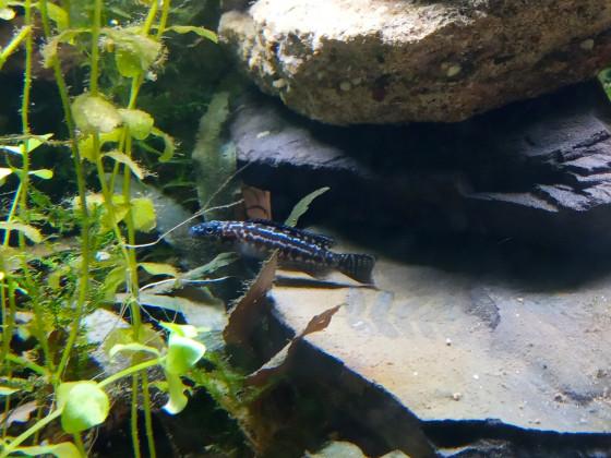 Lepidiolamprologus Kendalli junges Weibchen 4,5 cm