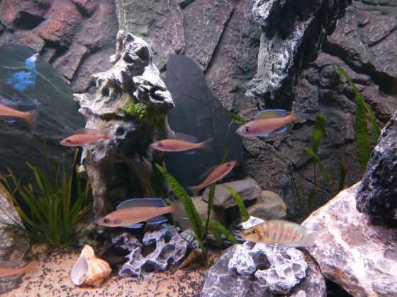 Altolamprologus Compressiceps Goldhead Kantalamba und Paracyprichromis Nigripinnis Blue Neon