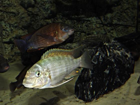 Petrochromis famula und polyodon