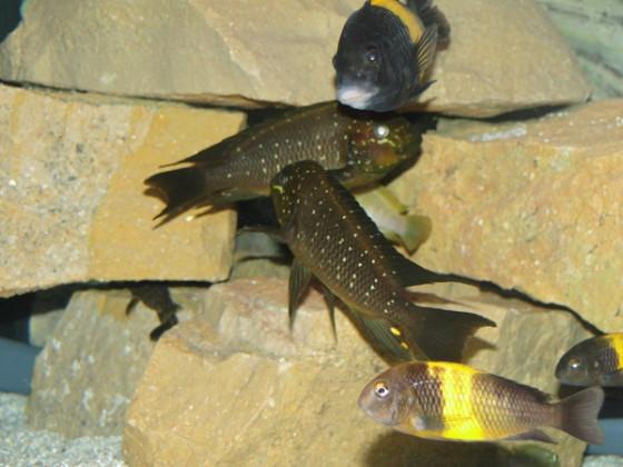 Petrochromis Trewawase