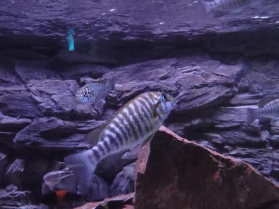 Petrochromis macrognathus namansi