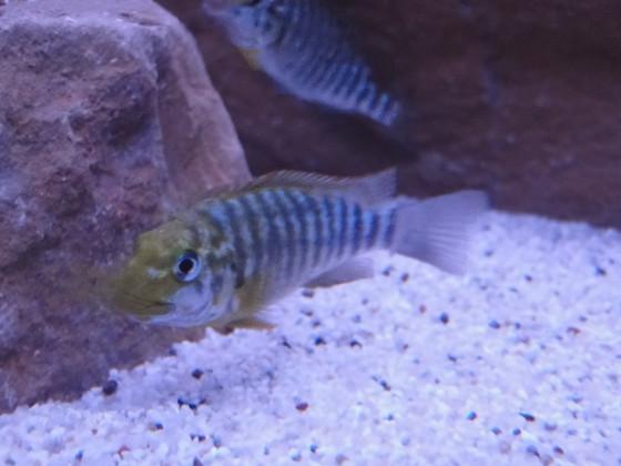 Petrochromis magrocnathus namansi