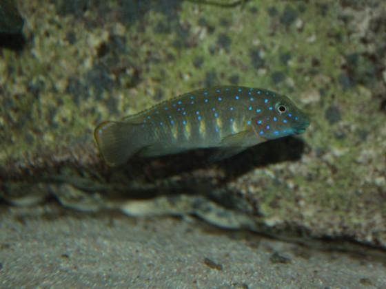 Eretmodus cyanostictus kapampa