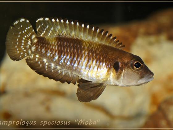 """Lamprologus speciosus """"Moba"""" WF"""