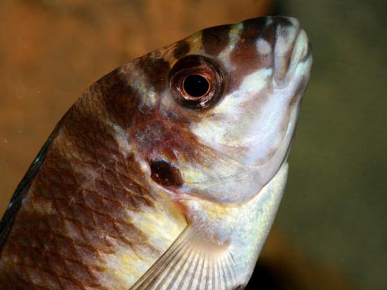 Petrochromis orthognathus ikola
