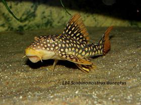 l14 Scobinancistrus aureatus ,Sonnenwels