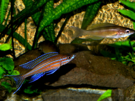 1 männlicher  Paracyprichromis n. blue neon verliebt in Zonatus Weib 14072014