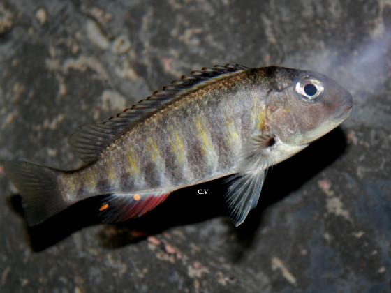 Simochromis babaulti Kabezi