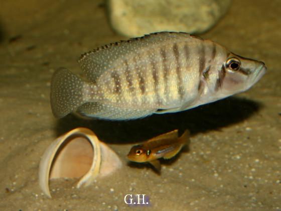 "Altolamprologus calvus ""black"" Lamprologus ocellatus"