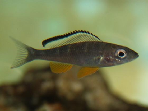 Paracyprichromis briei kisonso