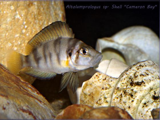 """Altolamprologus sp. Shell """"Cameron Bay"""""""