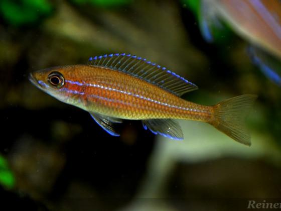 2 weiblicher Paracyprichromis n. blue neon 24042014