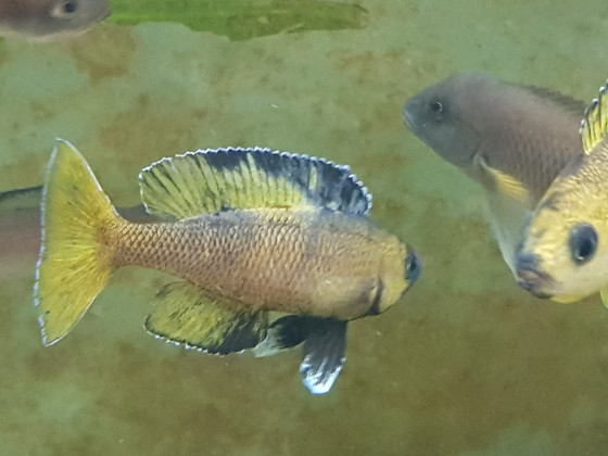 Cyprichromis leptosoma speckleback Moba