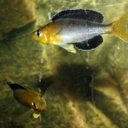 Cyprichromis Lep. Yellow Head Kekese